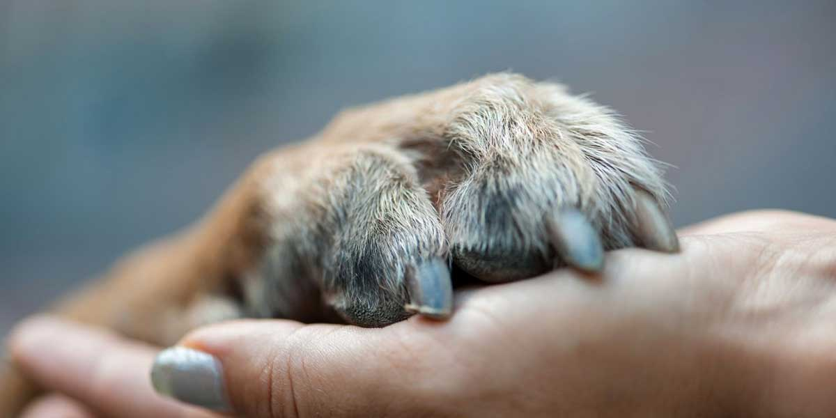 Symptoms of dog nail fungus