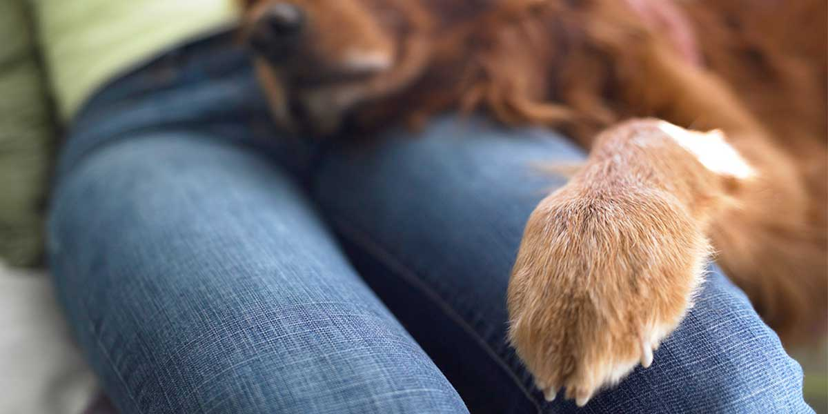 Kennel Hoffen Haus Hovawarts Dog Nail Disorders And How